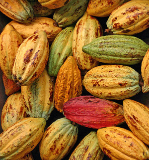 The flavor of chocolate depends on many factors including when pods are harvested.
