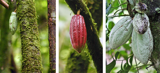 The fruit or pod of Theobroma cacao.