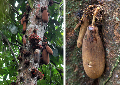 Tree and pods of Theobroma simiarum, cacao de mico or monkey cacao.