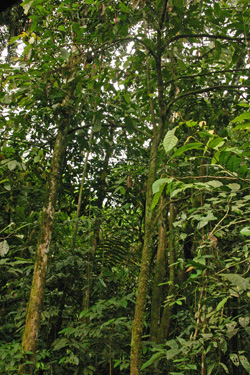 Nondescript Theobroma cacao trees growing in the rainforest.