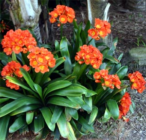 Clivia Master Gardener Program
