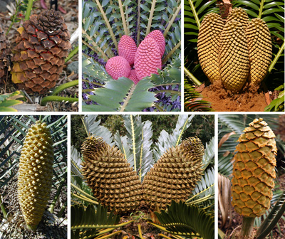 Cones of various species of cycads.