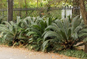 Cycads as a street planting in the Garden District of New Orleans.