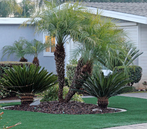 Cycads (Cycas revoluta) used as ornamentals with real palms (taller, center plants) in a residential landscape in eastern San Diego county.