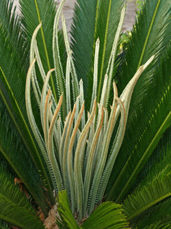 Sago palm, Cycas revoluta, producing a new flush of leaves.