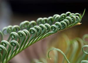New frond of Cycas revoluta unfurling.