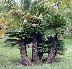 A group of sago palms, Cycas revoluta, at the National Botanic Garden in Kauii.