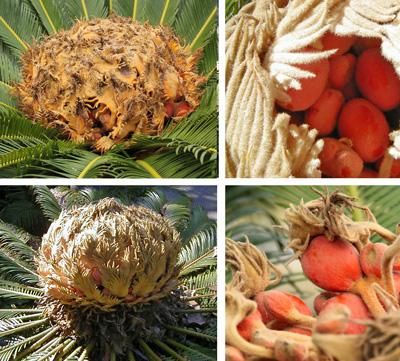 Female cone and seeds of sago palm, Cycas revoluta.