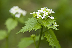 Flowers of garlic mustard produce up to several thousand seeds per plant, making it difficult to control.