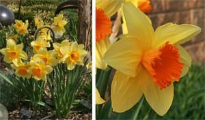 Fortissimo daffodil.