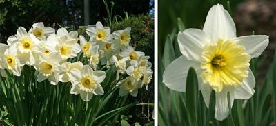 Ice Follies daffodil.