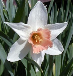 Salomé daffodil.