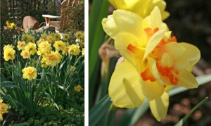 Tahiti daffodil.