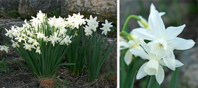 Thalia daffodil.