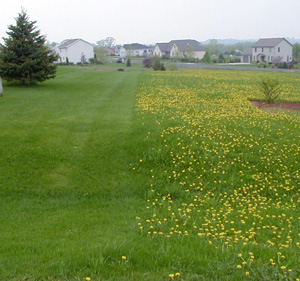 Several herbicides will control dandelions.