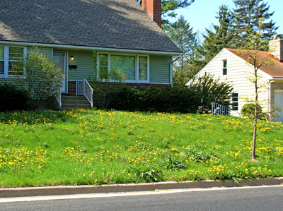 Dandelions are more of a problem in lawns that are not growing vigorously enough to outcompete the weeds.