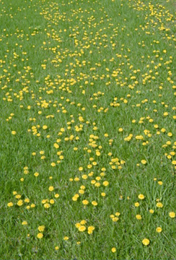 Dandelions flowering in a lawn.