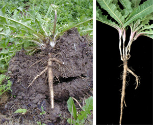 The fleshy tap root allows the plant to survive drought and regrow readily.