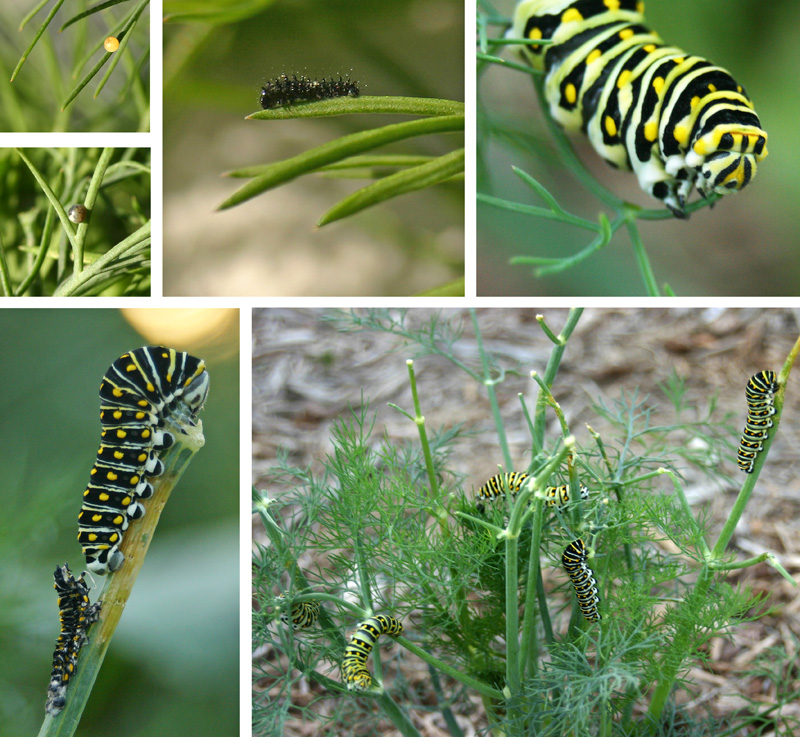 Black swallowtail butterfly: freshly laid egg (top L); egg changes color when ready to hatch (middle L); a newly hatched larva (top C); a nearly mature caterpillar feeds on the foliage (top R); a recently molted caterpillar with shed skin below (bottom L); and a group of black swallowtail larvae defoliate a large dill plant (bottom R).