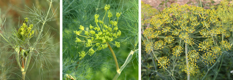 The tiny yellow dill flowers open in a large umbel infloresence.