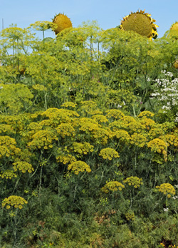 Dill is an attractive plant for both the herb garden and ornamental plantings.