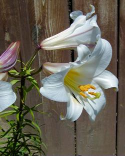 Lilium longiflorum can grow up to 3 feet tall