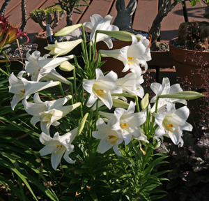 When planted outdoors, Easter lily blooms in the summer