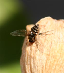 The characteristic pose of a fungus-infected fly, with wings outspread.