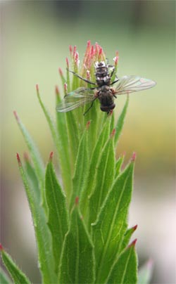 A dead fly at the top of a plant was likely killed by the fungusEntomophthora muscae.