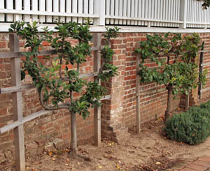 Espaliered apple trees at Mt. Vernon, near Alexandria, VA