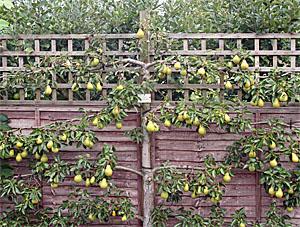 Espaliered pear tree, RHS Garden Wisley, England.