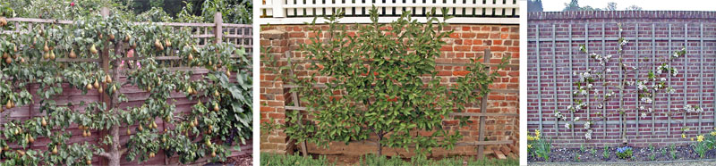 The traditional cordon (L), fan (C), and informal (R) styles of espalier.