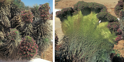 Echium sp.: normal (L) and fasciated (R).