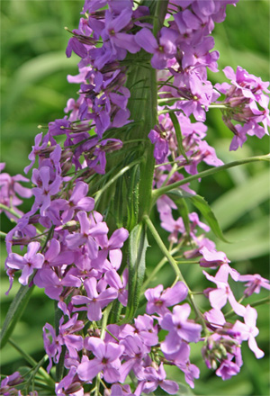Dames Rocket (Hesperis matronalis) with fasciated flower stem.