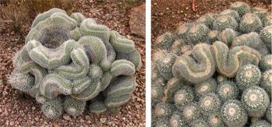 Fasciated cactus: Mammillaria geminispina Cristata (L) and M. spinosissima (R).