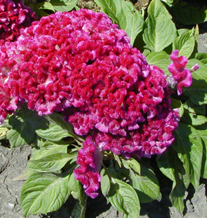Cockscomb celosia, with fasciated flower heads, is grown for its unusual ornamental appearance.