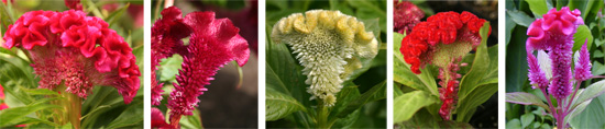Cockscomb celosia cultivars (Celosia argentea var. cristata): Toreador Red (L), Bombay Wine(LC), Amigo yellow (C), and Amigo Scarlet (RC), plus the not normally crested Celosia spicata Punky Red (R).