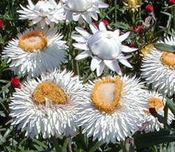 Helichrysum Giant Flowered Tall Mix showing distorted flowers.