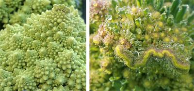 Romanesco broccoli: normal head (L) and fasciated (R).