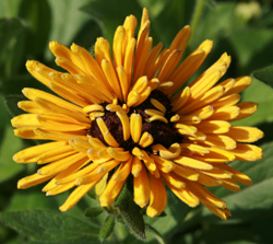 Rudbeckia flower with distorted growth.
