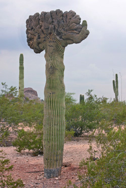 A crested saguaro at the Desert Botanical Garden, Phoneix, AZ