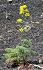 Ferula linkii, a relative of giant fennel, on the island of Lanzarote.