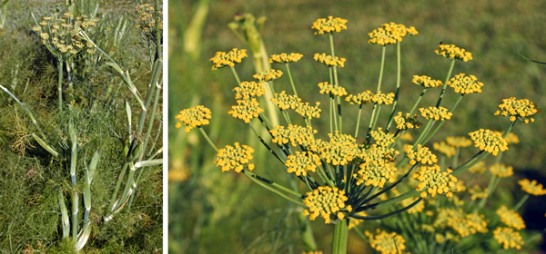 Plants bolt (L) to produce many compound umbels with yellow flowers (R).