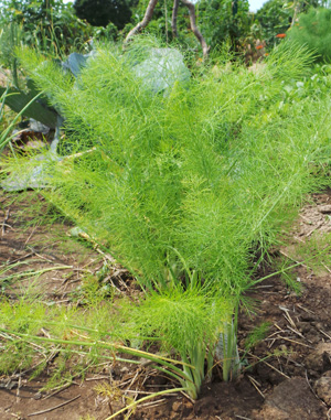 Fennel is grown as an ornamental or a vegetable.