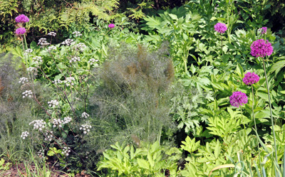 The fine texture of fennel contrasts well with other plants with coarser foliage.