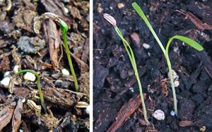 Fennel seedlings.