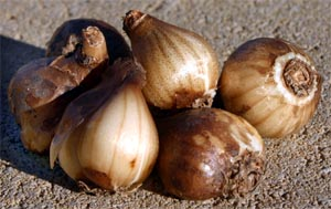 Plant the dry bulbs in fall, but transplant plants after flowering when still green, if possible.
