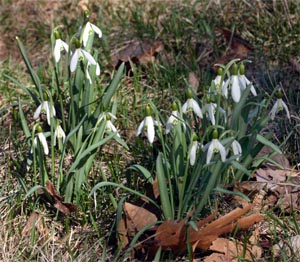 Snowdrops form compact colonies once established.