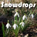 Snowdrops, Galanthus spp. Title Image