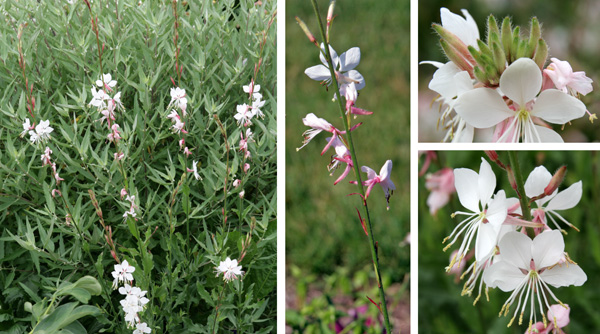 Gaura flowers along the flower spikes (L and C), with buds (top R) opening to 4-petaled flowers (lower R).